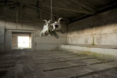 Cow skulls Royalty Free Stock Images