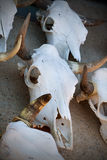 Cow Skulls Royalty Free Stock Photo
