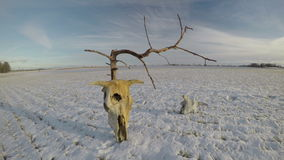Cow skulls bone on snow on agriculture field with dead tree and clouds, time lapse 4K stock video