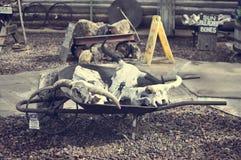 Cow Skulls. In a wheelbarrow Stock Photos