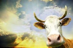 Cow on sky Stock Photos