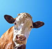 Cow and sky Royalty Free Stock Images