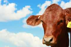 Cow with sky Royalty Free Stock Image
