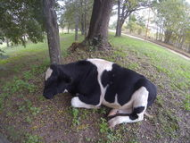 Cow sleeping Royalty Free Stock Photo