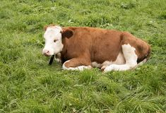 Cow sleeping in the grass. Brown-white cow sleeping in the field Stock Images