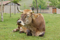 Cow sleeping. In a grazing field near houses Royalty Free Stock Photos