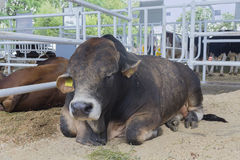 Cow sleeping in the stable on a farm. Agriculture Stock Photos
