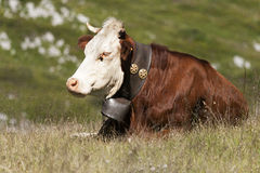 Cow slept in a meadow Royalty Free Stock Photos