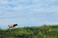 Cow on slope of green grass on background of blue sky Stock Image