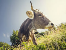 Cow with a small bell Royalty Free Stock Photo
