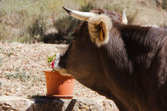 Cow smelling flower Stock Photography