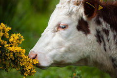 Cow smelling the flowers Royalty Free Stock Photos