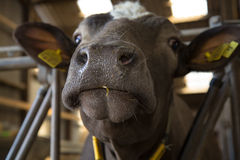 Cow sniffing Royalty Free Stock Images