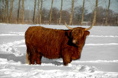 Cow in snow Stock Images
