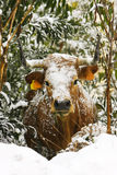 Cow with snow on the bush Stock Photography