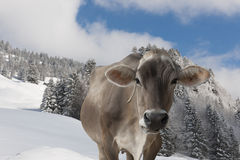 Cow in snow covered alps Royalty Free Stock Images
