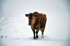 Cow in snow. The cow in snowstorm stock photography
