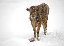 Cow in snow storm royalty free stock photography