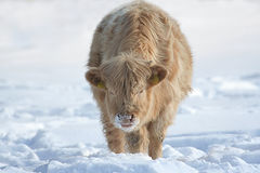 Cow in the snow, Christmas time Royalty Free Stock Photography