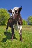Cow son a summer pasture Royalty Free Stock Images