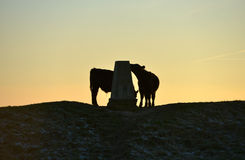 Cow. On the south downs near Devil`s Dyke, at sunset, Sussex Stock Photo