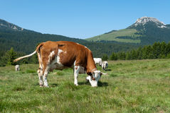 Cow in South Tyrol Stock Images