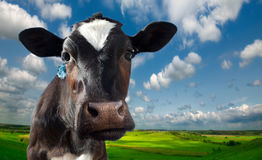 Free Cow Spotty  Against The Background Stock Photo - 92856680