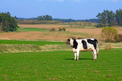Cow in spring landscape Royalty Free Stock Image