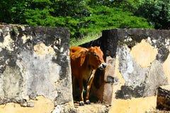 Cow in Sri Lanka Royalty Free Stock Photography