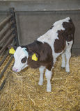 Cow in a stable barn on a farm Stock Images