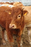 Cow in a stable. Brown cow in a stable Royalty Free Stock Image