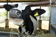A cow in Stable. Dairy cows in a stable on a farm, with shallow depth of field Stock Photo
