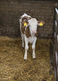 Cow in a stable on a farm Stock Photography