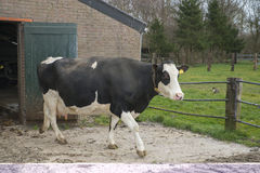 Cow before a stable on a farm Stock Image