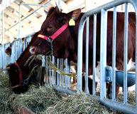 Cow in the stable feeding. The cow in the stable feeding Royalty Free Stock Image
