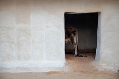 Cow in a stable in India. Lifestock behind a door in an Indian village Royalty Free Stock Images