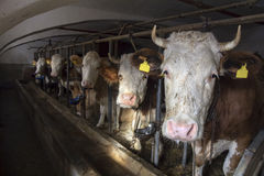 Cow in a stable Stock Photography