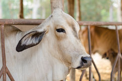 Cow. In a stable (thailand Stock Images