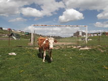 Cow on the stadium Royalty Free Stock Photography