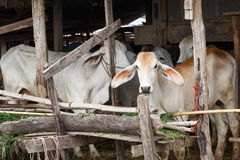 Cow in stall Stock Photography