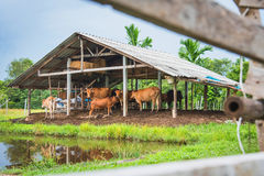 Cow stall Royalty Free Stock Image