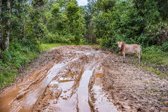 Cow stand side a muddy road. Royalty Free Stock Photos