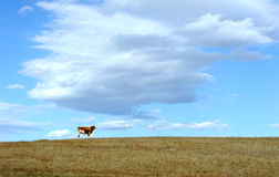 Cow standing in autumn field. Royalty Free Stock Images