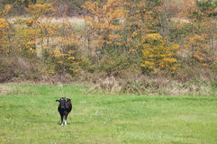 Cow standing with autumn trees in the distance Stock Images