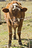 Cow Standing Behind Fence. A cow in a pasture behind a barbed wire fence Stock Photo