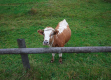 Cow standing behind a fence on a farm Royalty Free Stock Photography