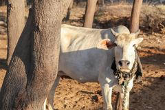 Cow standing behind tree in rural village area royalty free stock photography