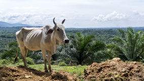 Cow standing on cliff side over valley Stock Photo