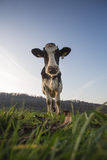 Cow standing on field Stock Images