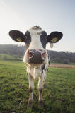 Cow standing on field Royalty Free Stock Photo